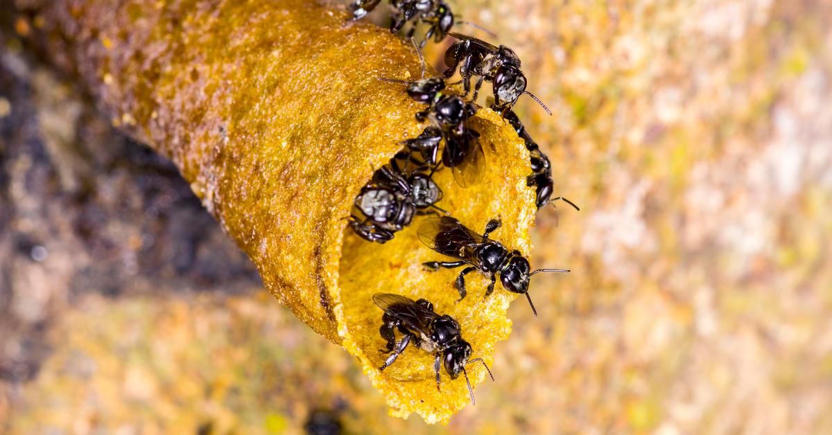 Billion bees foundation australian stingless bees